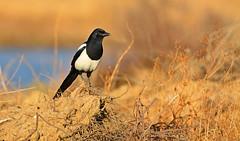 Pega-rabuda (Pica pica) (J_ Rosa) Tags: bird pega pegarabuda picapica d7100 tavira algarve