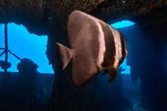 FLA-161001-ND800-8160 (ferlopez) Tags: batfish fish longfinbatfish marinelife plataxteira spadefish underwaterphotography wailea mauihawaii usa