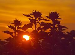 the sun shine through sunflowers P9250995 (2) (hans 1960) Tags: sun autumn herbst herbstzeit sunrise sonne sol soleil nature natur silhouette sunflower sonnenblumen golden licht light sky himmel colourful germany flower fleur