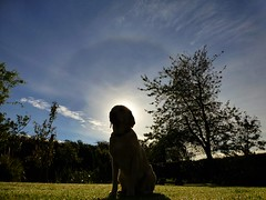 Sunny's Halo..x (lisa@lethen) Tags: halo dog labrador sunshine sunny garden weather blue skies sky