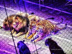 Lions & Tigers No Bears (Carolyn Arzac) Tags: lions tigers cats circus ringlingbrothers saltlakecity utah photos nikon coolpix flickr