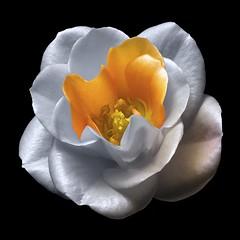 Rose Y (Pixel Fusion) Tags: rose flower flora nature macro nikon d600