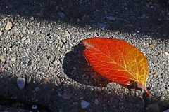 Cotoneaster Leaf _4941ModSml (Barrie Wedel) Tags: cotoneasterhedge cotoneaster hedge plant outdoor leaf fallcolours red yellow closeup