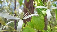 Clematis aristata (Tony Markham) Tags: clematisaristata oldmansbeard clematis ranunculaceae dharawalnationalpark dharawal 10b 10bfiretrail