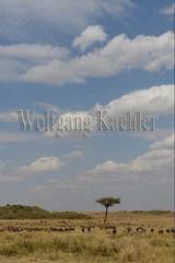 10078111 (wolfgangkaehler) Tags: 2016africa african eastafrica eastafrican kenya kenyan masaimara masaimarakenya masaimaranationalreserve wildlife grassland grasslands migration migrating antelope antelopes gnu wildebeestmigration wildebeest wildebeestherd wildebeests zebras plainszebrasequusquagga burchellszebra burchellszebraequusquagga burchellszebras