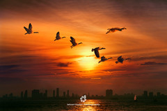 Seven Sisters (fesign) Tags: birds canada city fly geese goose lake lakeontario red seven sunset toronto canadagoose