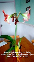 Amaryllis flowering on living room table 3rd & 4th flowers open 18th October 2016 002 (D@viD_2.011) Tags: amaryllis flowering living room table 3rd 4th flowers open 18th october 2016