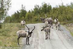 Ren, Härjedalen, Juni 2016 (Gavia_Stellata) Tags: däggdjur ren reindeer rangifertarandus sverige sweden