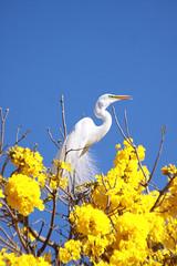 Serie com a Garca-branca-grande, no topo do Ipe-Amarelo - Series with the Great Egret (Casmerodius albus, sin. Ardea alba) at the top of the Trumpet tree, Golden Trumpet Tree (Tabebuia [chrysotricha or ochracea]) - 02-09-2015 - IMG_8454_2 (Flvio Cruvinel Brando) Tags: srie garabrancagrande casmerodiusalbus ardeaalba series greategret ave aves bird birds pssaro pssaros passarinho braslia brasil brazil natureza naturaleza nature cor cores animal animals animais flviobrando planta plantas plant plants color colorida coloridas amarela rvore rvores tree trees arbl trumpettree goldentrumpettree paudarco tabebuia flor flower flores flowers sries amarelo ip ipamarelo tabebuiachrysantha yellow flvio brando araguaney aoarlivre folhagem