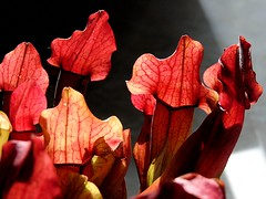 Pitcher Plants 284/366 (Hornbeam Arts) Tags: carnivorous
