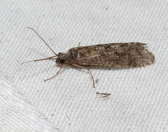 Caddisfly (Bug Eric) Tags: animals wildlife nature outdoors insects bugs caddisflies trichoptera coloradosprings colorado usa caddisfly northamerica july162016