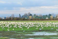 Flock Of Seagulls 16-1109-1316 (digitalmarbles) Tags: landscape fall autumn scenic seagulls clouds field trees green grass nature birds deltabc lowermainland bc britishcolumbia canada nikond300 nikon
