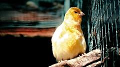 the thief - [explored 18.10.2016] (camerito) Tags: thief dieb lookalike yellow bird gelber vogel vogelpark grim grimmig camerito nikon1 j4 flickr austria sterreich explored