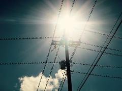 Flare {291/366} (therealjoeo) Tags: 366 365 365project texas grackle bird wire telephone sky