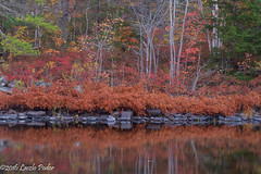 Rusty Ferns (laszlofromhalifax) Tags: lauriepark lakeshore shoreline lake water fall autumn halifax novascotia canada