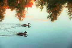 The Drift. (Wilickers) Tags: canon 60d nature photography ducks birds water colors bright pond reflection peaceful canada ontario autumn clear streaks afternoon saturation sunset light beautiful