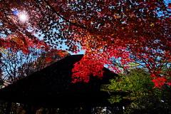 Atumn leaves I (kazs2307) Tags: autumn autumnleaves automncolor    red  outdoor tree leaf plant japan
