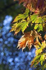 Autumn Bokeh (scbeck11) Tags: nature bokeh leaves sunlight