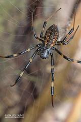 Hermit spider (Nephilengys sp.) - PA130313 (nickybay) Tags: singapore durianloop macro nephilidae nephilengys hermit spider