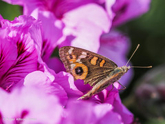M2207734.jpg (Roger OZ) Tags: fauna butterfly bugorinsect