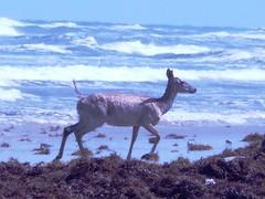 Padre Island Deer on Beach (BirdWatcher6723) Tags: beaches deer gulfs mammals nature padreisland texas unitedstates water wildlife
