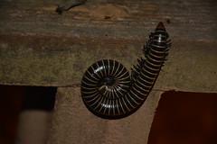 Giant Millipede (perdixphotos) Tags: cristalino lodge amazon brazil giant millipede