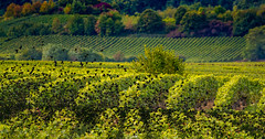 autumn in the vineyards (hardy-gjK) Tags: vineyards weinberge vignobles autumn herbst vgel birds nikon star harvest time erntezeit weinlese vintage vendange