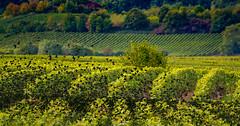 autumn in the vineyards (hardy-gjK) Tags: vineyards weinberge vignobles autumn herbst vögel birds nikon star harvest time erntezeit weinlese vintage vendange