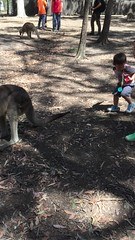 2016.10.10 -2 (amydon531) Tags:   gold coast australia trip travel vacation baby boys kids brothers justin jarvis family toddler cute paradise country kangaroos