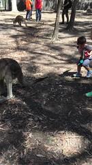 2016.10.10 兩兄弟和袋鼠互動-2 (amydon531) Tags: 澳洲 黃金海岸 gold coast australia trip travel vacation baby boys kids brothers justin jarvis family toddler cute paradise country kangaroos 袋鼠