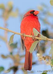 Male Cardinal (DonMiller_ToGo) Tags: red wildlife venicerookery cardinal nature onawalk birds outdoors birdwatching fall d810 rookery florida