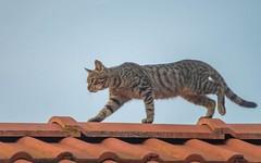 kittens (24) (Vlado Ferenčić) Tags: kitty kittens cats catsdogs zagorje hrvatskozagorje croatia hrvatska klenovnik roof animalplanet nikond600 sigma150500563