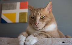 Sassy Cat (Ian Mackler Photography) Tags: d7200 sigma 1770mm cat sassy kitty kitten fat fluffy buff confident