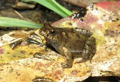 Bleating Froglet (Crinia pseudinsignifera) (Heleioporus) Tags: bleating froglet crinia pseudinsignifera near perth western australia