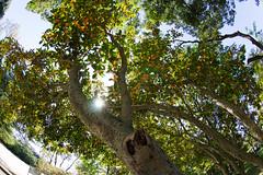 The Sun shines on Fragrant Olives (nak.viognier) Tags: sun shine fragrantolive dark ryokuchipark osaka 緑地公園 olympusepl3 lumixgfisheye8mmf35