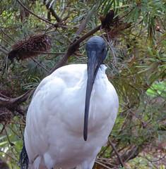 I'm looking at you (dramadiva1) Tags: tarongazoo australia sydney