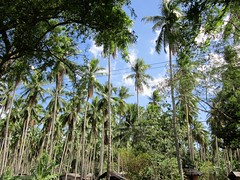 WIRED (PINOY PHOTOGRAPHER) Tags: lupon davao del sur mindanao coconut tree philippines asia world