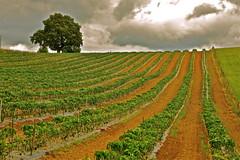Du piment dans l'image. (JDAMI) Tags: nuages orage alignements champ piment espelette 64 pyrnesatlantiques paysbasque aquitaine france vert ocre arbre nikon d600 tamron 2470