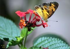 Checkerspot Feeding (zeesstof) Tags: backyard blossom butterfly flower home insect lantana nymphalinae pearlcrescent phyciodestharos plant texas thewoodlands truebrushfoot vegetation zeesstof