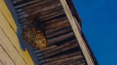 Avispero | Hornet's nest (lezumbalaberenjena) Tags: vega palma palmas palm cuba villas villa clara noviembre november 2016 familia family birthday cumpleaños fiesta comelata comida criolla campo campesino campiña lezumbalaberenjena