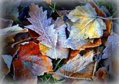 Frozen leaves (soxstripy Joe 1954) Tags: 2016 natureinwinter winter trees ice cold