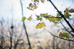 First to change. First to fall. (jlstein339) Tags: sony a7ii leica leitz wetzlar 50mm f2 summicron cron dr dualrange legacy adapted metabones outdoors foilage fall colors changing bokeh beyondbokeh nature autum
