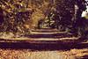 blondes sont les voûtes (Nicolas Fourny photographie) Tags: canon 600d 50mm landscape paysage trees arbres vexin autumn automne fall deadleaves feuillesmortes france perspective colours beautifullandscape nature road route