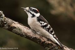 Yardbirds: Woodpecker Wednesday (rdroniuk) Tags: birds passerines smallbirds woodpeckers oiseaux passereaux pic downywoodpecker downywoodpeckermale picoidespubescens picmineur birdsofontario