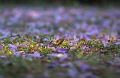 Jacaranda carpet_2_c (gnarlydog) Tags: bokeh shallowdepthoffield adaptedlens duotamron135mmf45 manualfocus vintagelens bubbly jacarandatree flowers grass detail nature