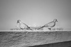 ... aupair ... (*ines_maria) Tags: couple pair cute urban city dubai sunrise sky mono schwarzweis blackandwhite monochrome bw bird animals lovely birds animal blancetnoir