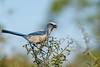 Bird Bling (Khurram Khan...) Tags: conservation florida floridascrubjay endangered wildlife wildlifephotography wwwkhurramkhanphotocom nikon nikkor ilovewildlife ilovenature iamnikon nikonnofilter nikonwildlife