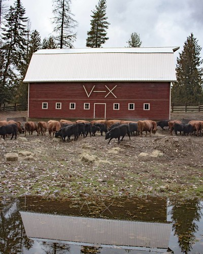 The V-X barn was built in 1942, by Riley Wood and his sons, two years after they moved to north Idaho from Colorado.  Almost 75 years later, it still stands strong fulfilling its purpose on the ranch. The blood, sweat, tears, laughter, triumphs and failur