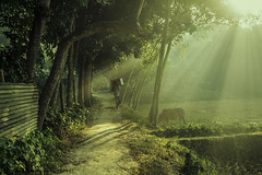 Winter Bangladesh (Topu Saha) Tags: nature landscapes sunrise people trees sunray morning winter sarishabari jamalpur bangladesh nikon cow walk green grass