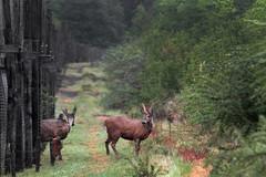 Reintroducción de cinco huemules en la Reserva Biológica Huilo Huilo en Panguipulli (Ministerio de Agricultura - Chile) Tags: ministeriodeagricultura huilohuilo huemul liberación panguipulli sag